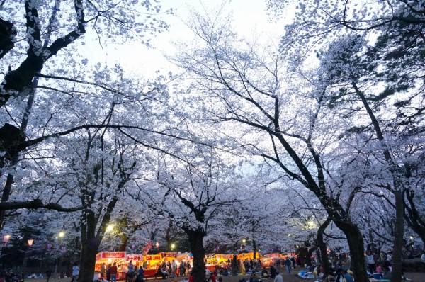 大宮公園桜