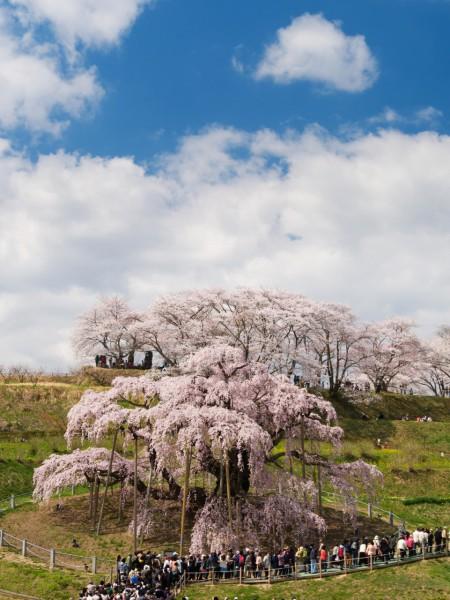 遠くから桜