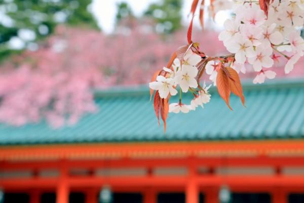背景ボケと桜