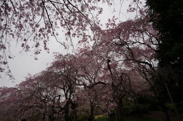 神代植物園桜