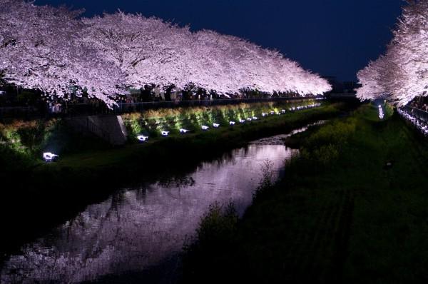 ライトアップ桜