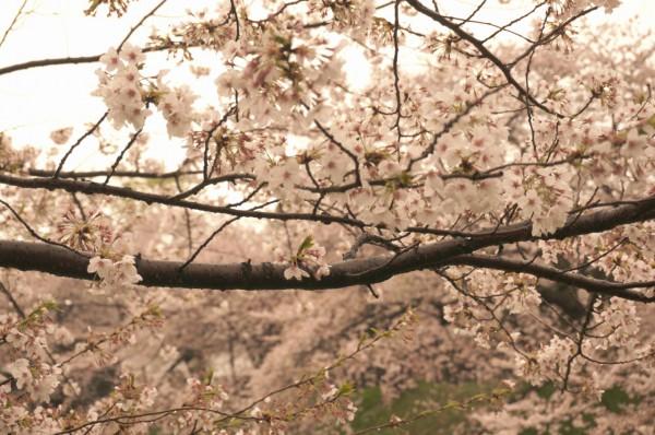 ホワイトバランス桜