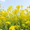 Field-mustard