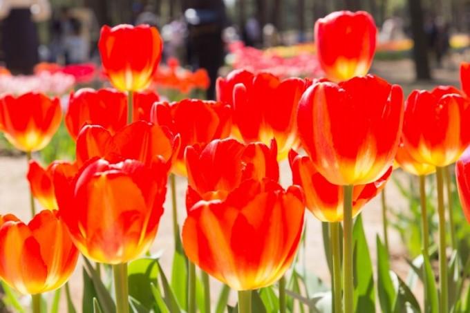 2016_04_tulip