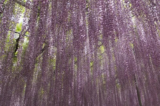 2016_04_wisteria