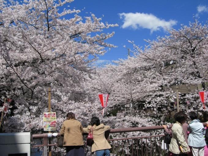 megurogawa-cherry