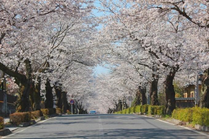 nagatoro-cherry