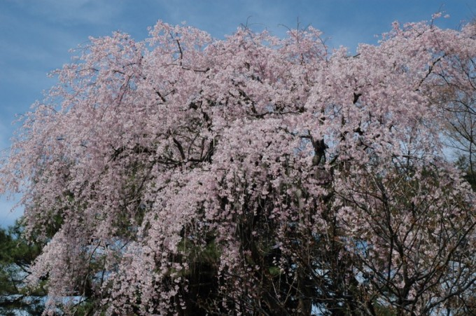 shimizu-cherry