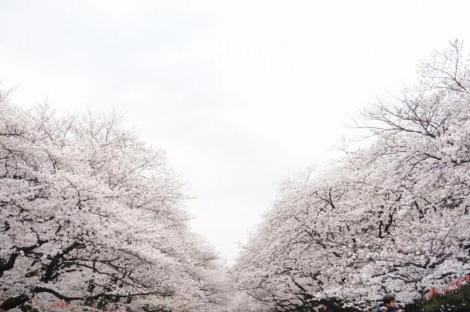 ueno-cherry