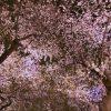 手持ちでチャレンジ!さくらの名所「千鳥ヶ淵」で夜桜を撮ってきた!